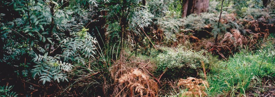 A picture of lush ferns in a dense forest